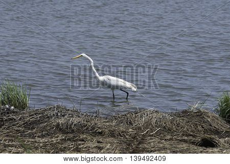 A lone Egret walking through the water