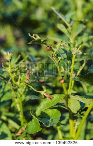 Colorado potato beetles eat the leaves of the crop destroyed