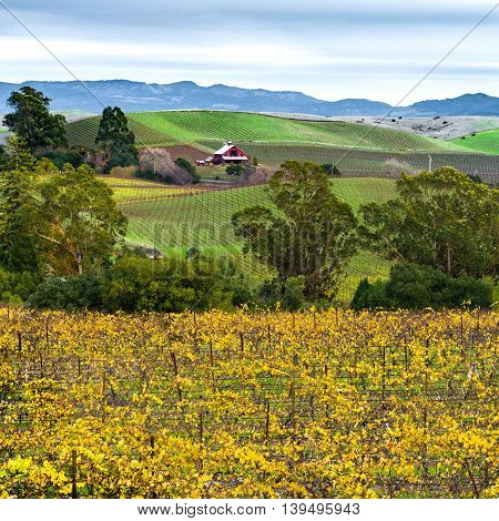 Napa Valley California vineyard, red barn, rolling hills in autumn. Vibrant yellow grapevines in Napa wine country at harvest.
