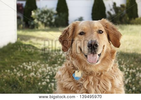 Golden Retriever off-center looking at camera with blurred background