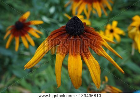 Coneflower (rudbeckia) yellow and dark-red old flower close up