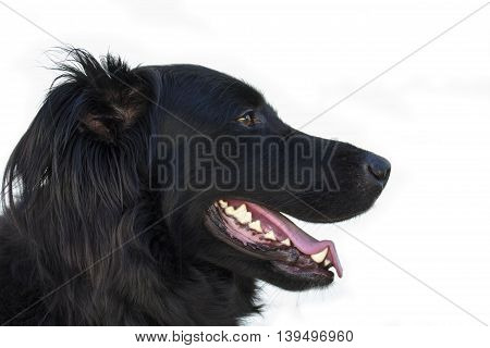 Black dog facing right side portrait on white background