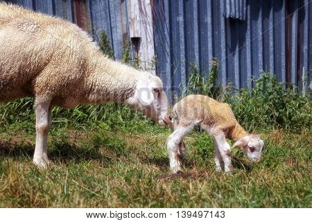Mom sheep with small newly born lamb grazing grass and sniffs her baby.