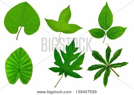 Collection of green tree leaf isolated on white background