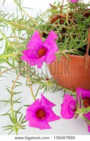 Moss Rose Portulaca Grandiflora