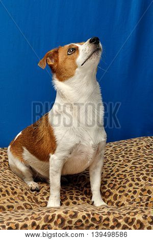 A Jack Russell sitting on a leopard print pillow with a blue background