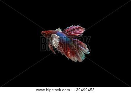Siamese fighting fish isolated on a black background