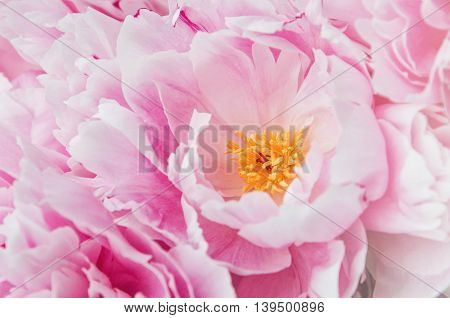 Floral wallpaper background from flower petals. Trend colors pink and blue. Beauty pink peony peonies roses flowers. Bloom love concept. Card text place copy space.