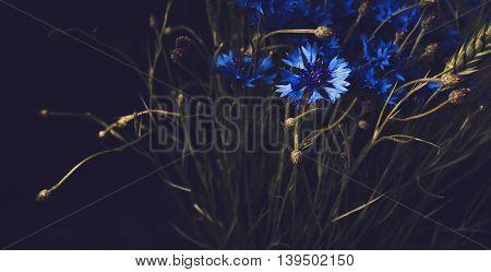 Beautiful blue cornflower flowers on black background. Floral abstract background. Fine art style. Blossom summer botanical elements. Vintage effect still life.