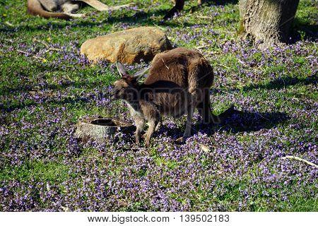 A western grey kangaroo (Macropus fuliginosus) grazes on plants near the ground.