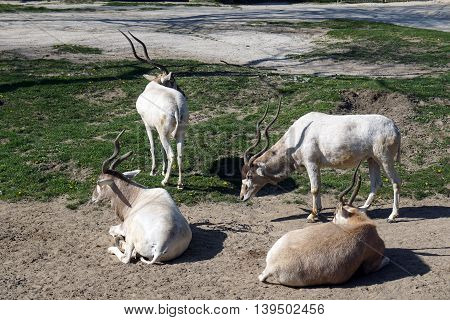 A herd of addax antelopes (Addax nasomaculatus) resides together in a yard.