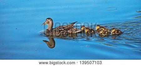 Mallard duck and her chicks in Alaska