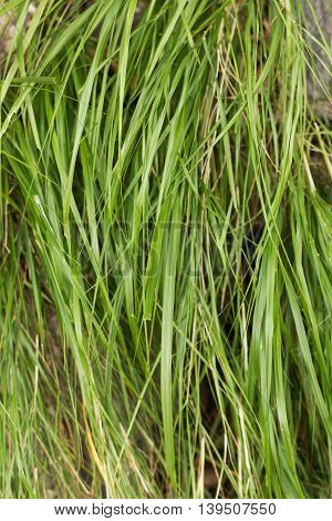long green grass blades. close up view.