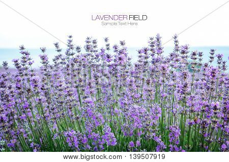 Lavender herbal flowers plant summer Provence field bottom with white blank space