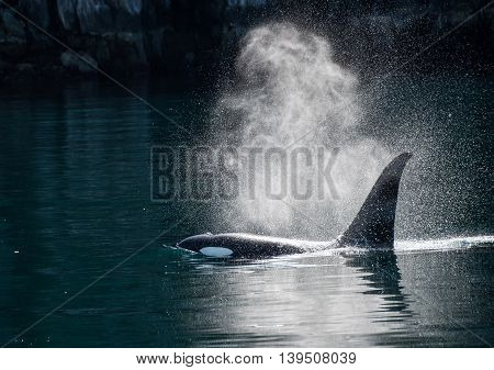 Orca whale exhales in the sunlight in Alaska
