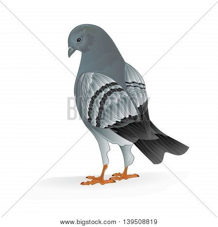 Bird Carrier pigeon domestic sports bird vector illustration