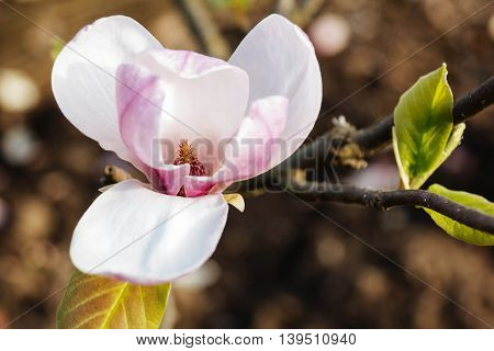 Pink magnolia spring fragility flower branch background