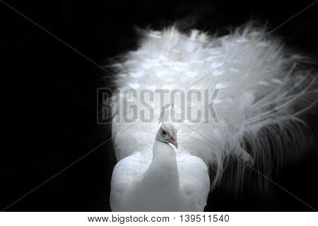 Close-up Of Beautiful White Peacock With Feathers In