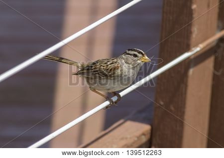 A small white crowned sparrow is perched in Westport Washington.