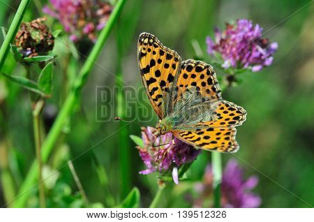 The Queen of Spain fritillary (Issoria lathonia) is a butterfly of the family Nymphalidae.