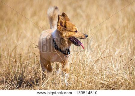 a little dog in a corn field