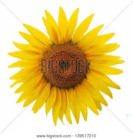 Beautiful big sunflower isolated over white background