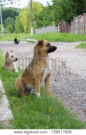 Two stray dogs on the streets in the village