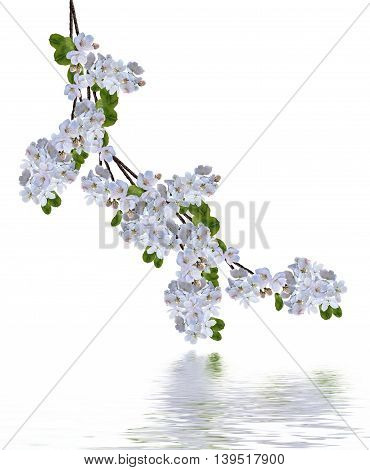 Beautiful delicate flowers of apple blossom isolated on white background.
