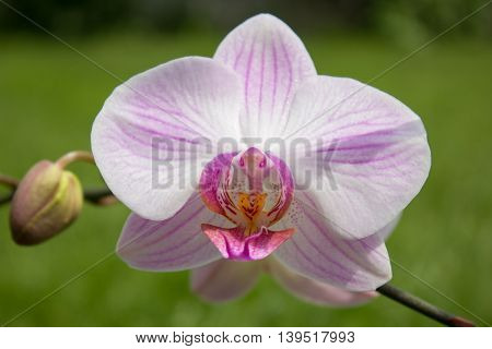 beautiful one pink orchid on green background