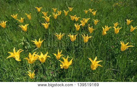 Yellow lily-flowered tulips in the grass of a meadow