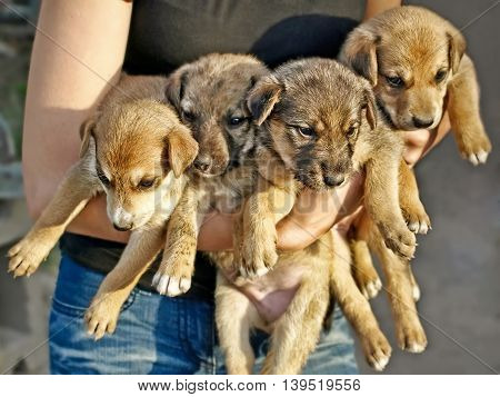 Girl hold four little puppies taken closeup.