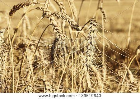 Ripe wheat ears on field taken closeup.Toned image.