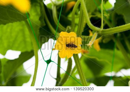 Bee in yellow flower of a cucumber