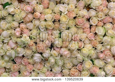 Background from a variety of cream and pink roses. Wedding
