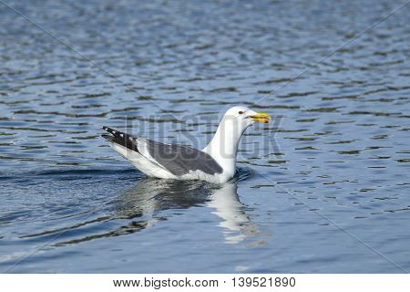 A Herring Gull Larus Argentatus in Westhaven Cove in Westport Washington.