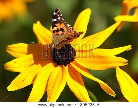 Butterfly and flower.  Lodz, Poland - July 21.2016 Colorful butterfly sitting on the petals of a flower.