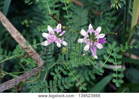 Crown vetch (Securigera varia) blooms in a swamp in Plainfield, Illinois during the Summer.