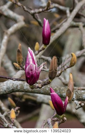 close up of magnolia tree with buds