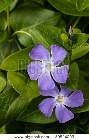 detail of blue periwinkle flowers in bloom