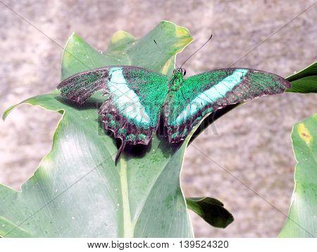 Papilio palinurus in garden of Niagara Falls Ontario 16 July 2016 Canada