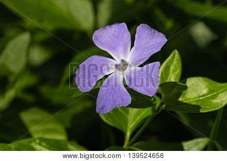 closeup of blue periwinkle flower in bloom