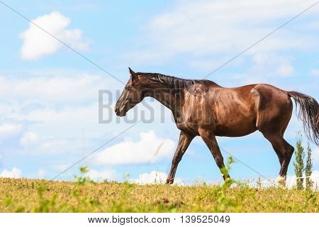 Majestic graceful brown horse in meadow field. Tranquil countryside scene.