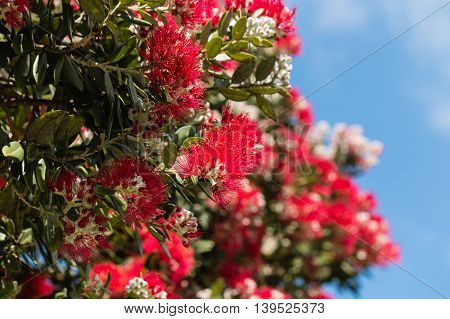 detail of red Pohutukawa flowers and buds