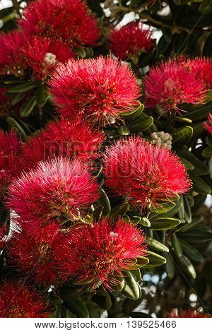 closeup of red Pohutukawa tree flowers in bloom