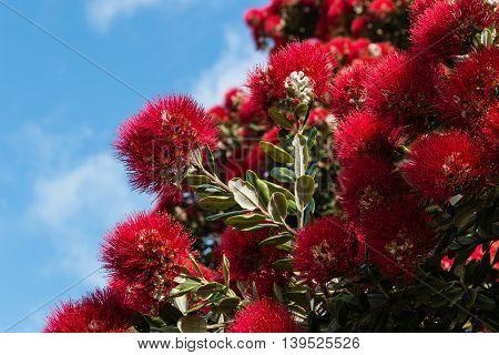 closeup of pohutukawa tree flowers in bloom
