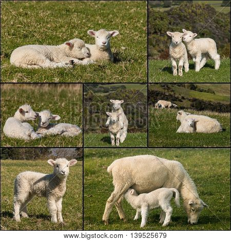 collection of sheep with lambs on meadow
