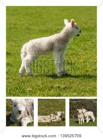 collage of lambs resting on spring meadow