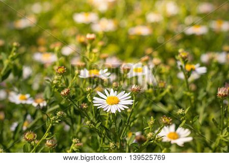 Daisy Flowers Meadow, Field Of Daisies