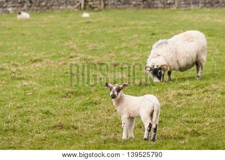 little lamb with ewe grazing in paddock