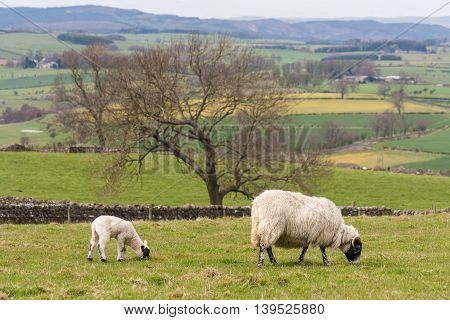 sheep with newborn lamb grazing in paddock